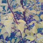 Береза даурская (betula daurica).