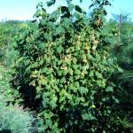 Клен колосистый (acer spicatum)