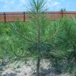 Сосна желтая (pinus ponderosa)