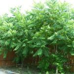 Орех Зибольда (juglans sieboldiana)
