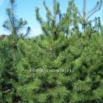 Сосна скрученная широколистная (pinus contorta latifolia)