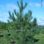 Сосна смолистая (pinus resinosa)