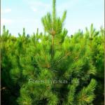 Сосна смолистая или красная (pinus resinosa)