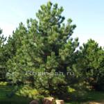Сосна черная австрийская (pinus nigra austriaca)