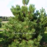 Сосна черная (pinus nigra austriaca)