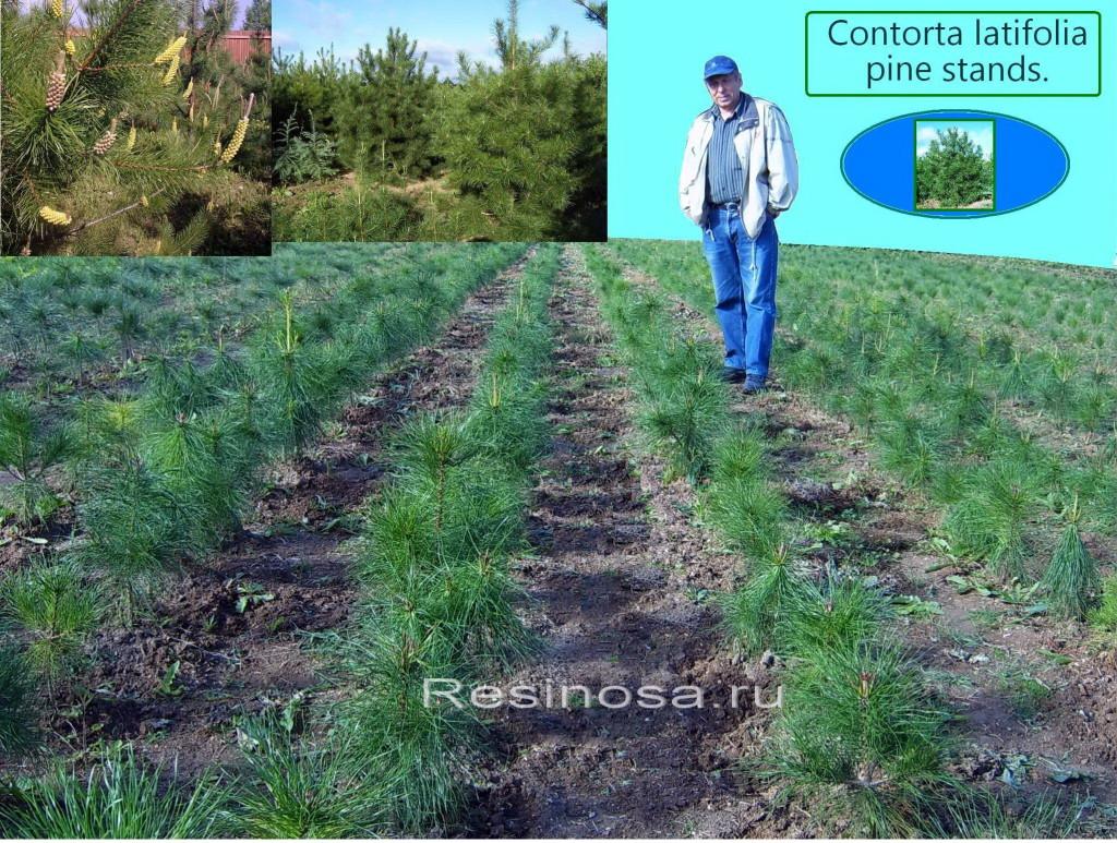Школьное отделение питомника Resinosa с 4-х летними культурами сосны скрученной широколистной