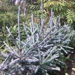 Ель сибирская голубая (picea obovata glauca)