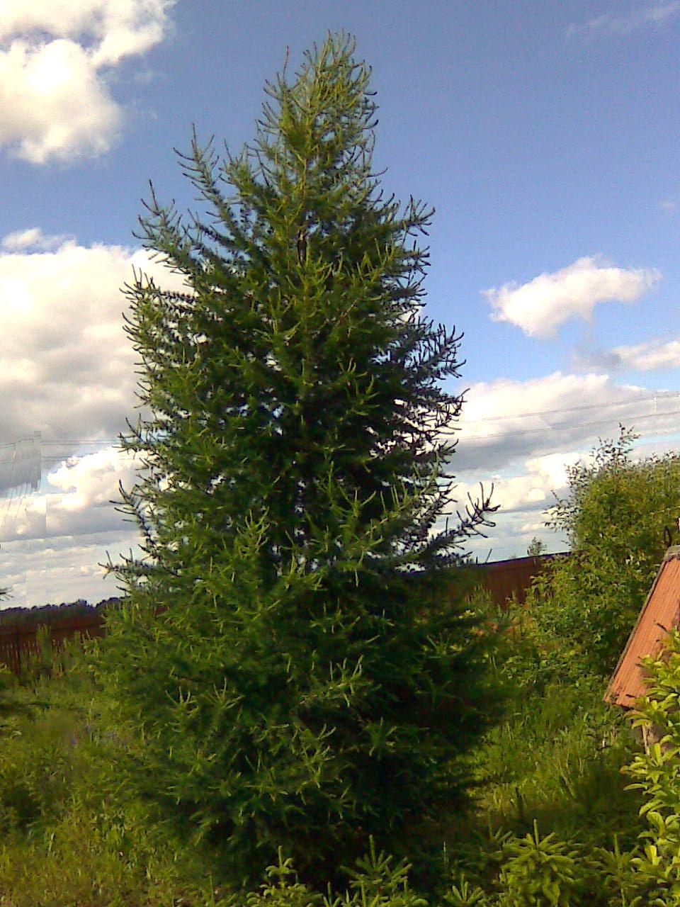 как выглядит дерево лиственница