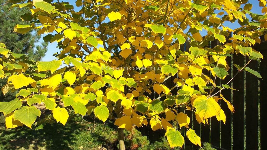 Клен зеленокорый в осенний период