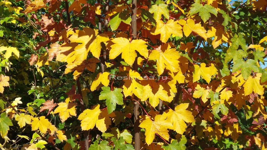 Листья клена ложноплатанового в осенний период