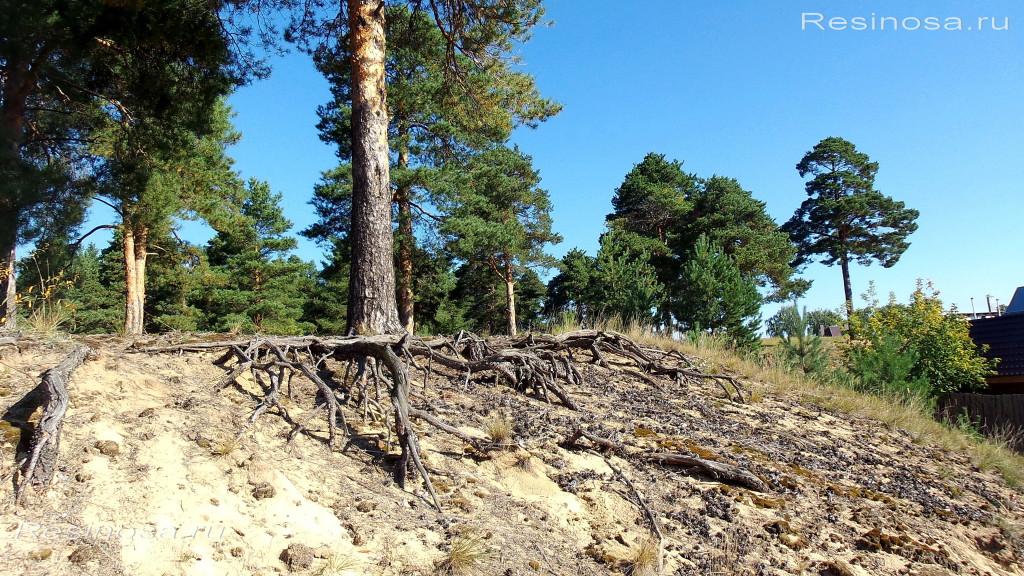 Сосна обыкновенная на песках вблизи г.Дзержинска.
