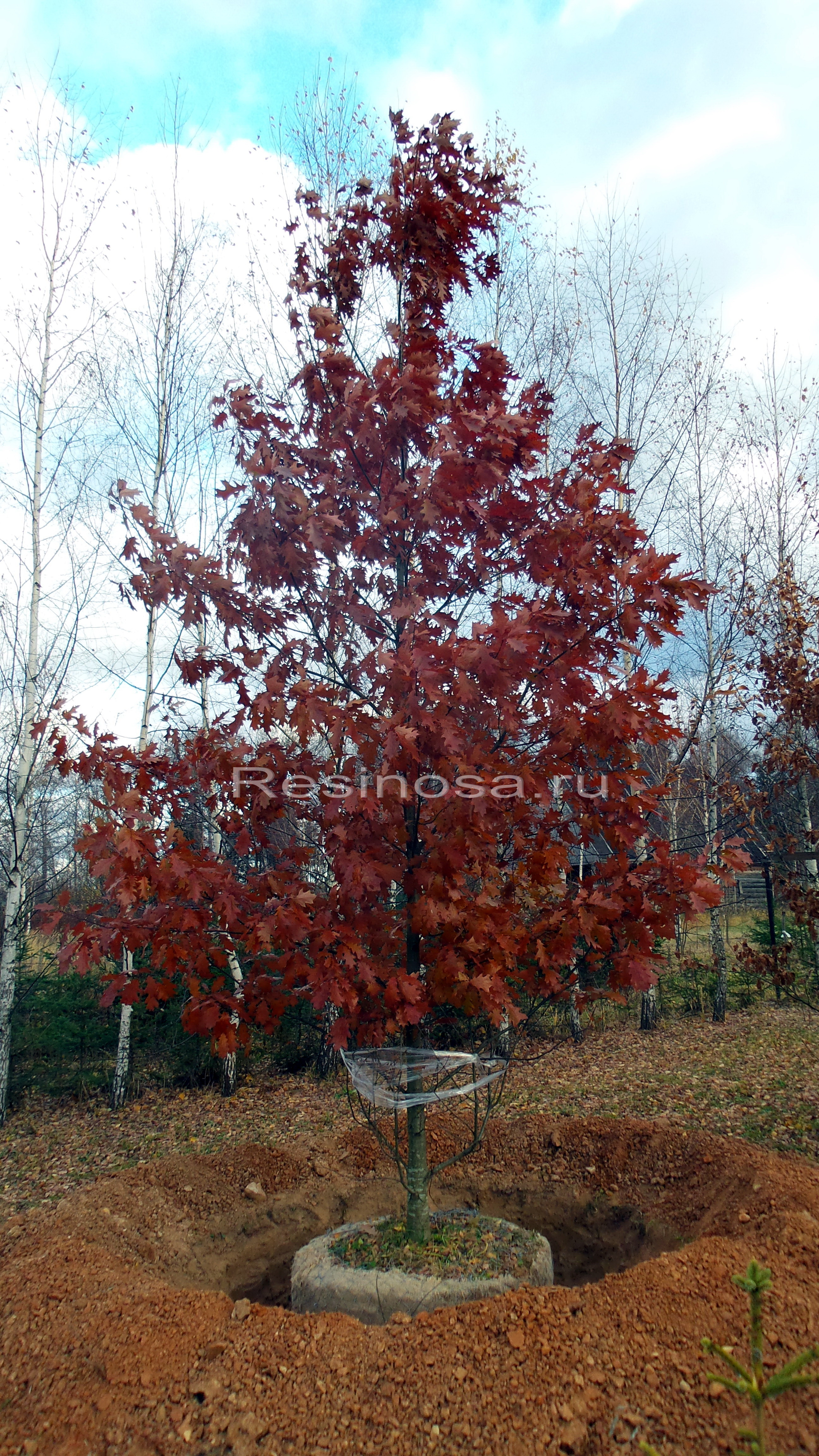 Выкопанный дуб красный.