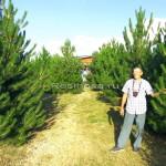 Громадин А.В. и плантационные посадки черной сосны