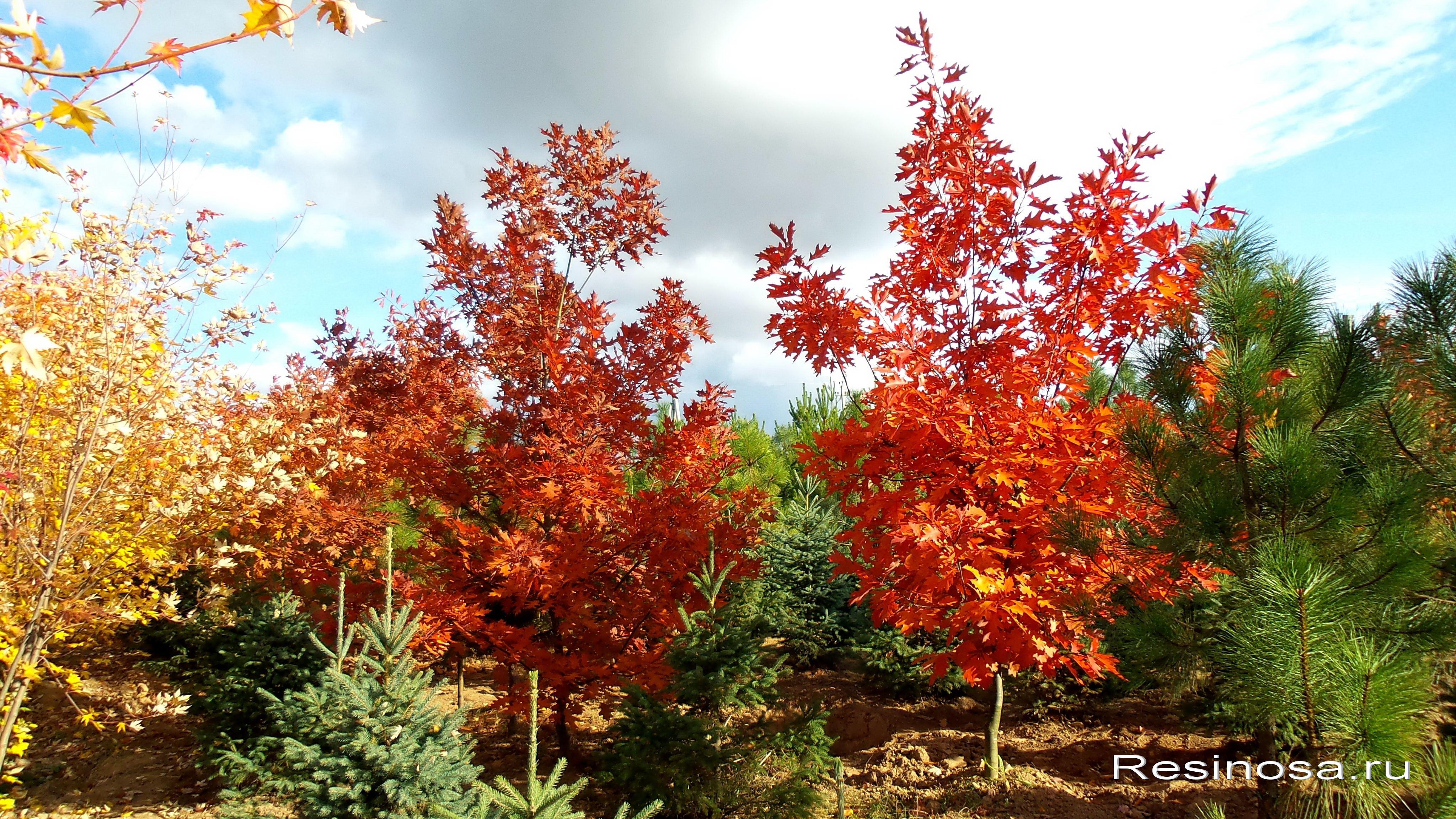 Красный дуб.