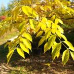 Листья бархата амурского.