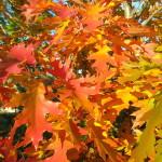 Листья дуба красного.
