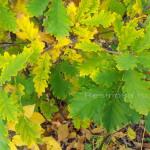 Листья дуба крупнопыльникового.