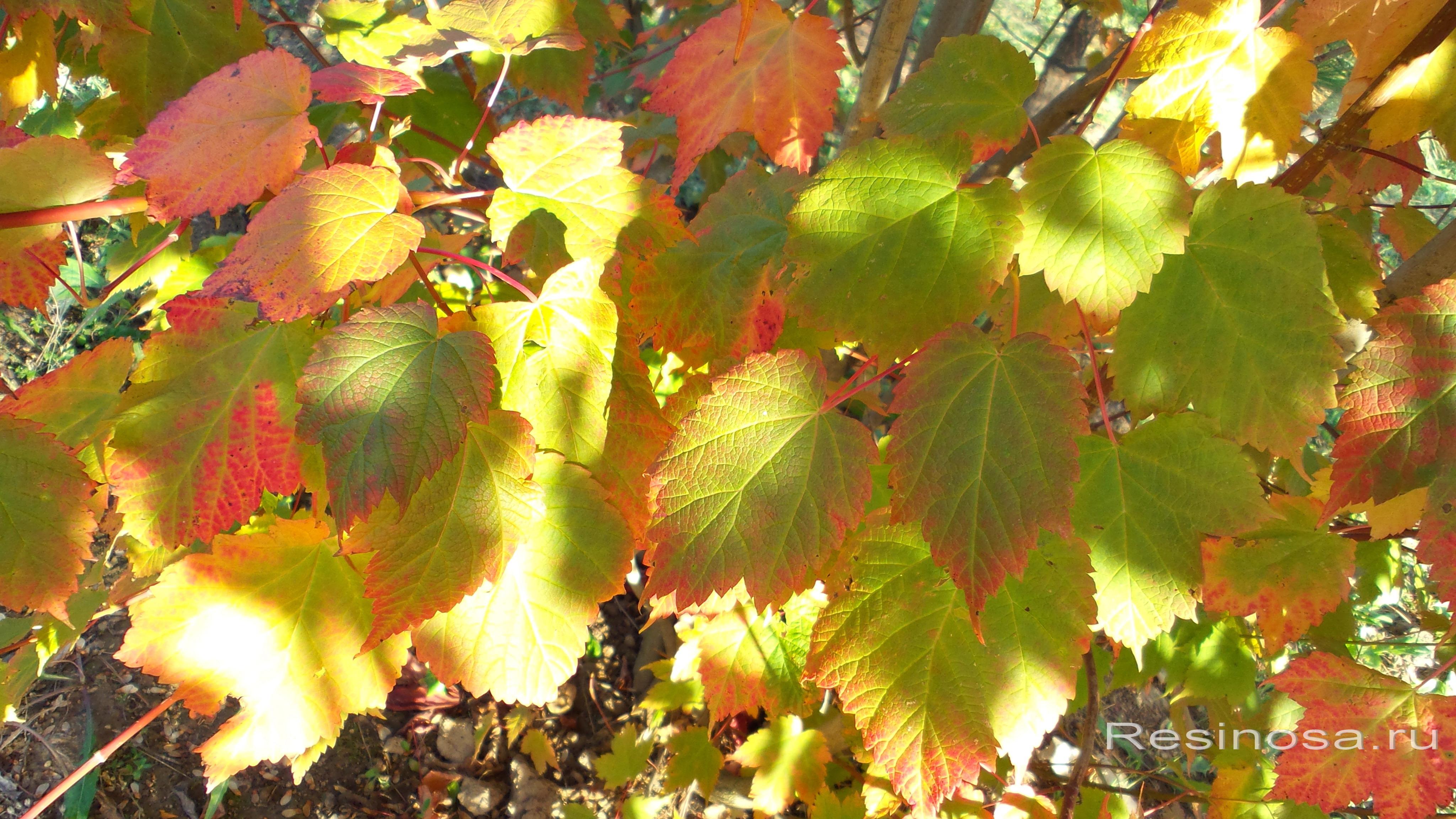 Листья клена колосистого.