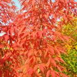Листья клена маньчжурского.