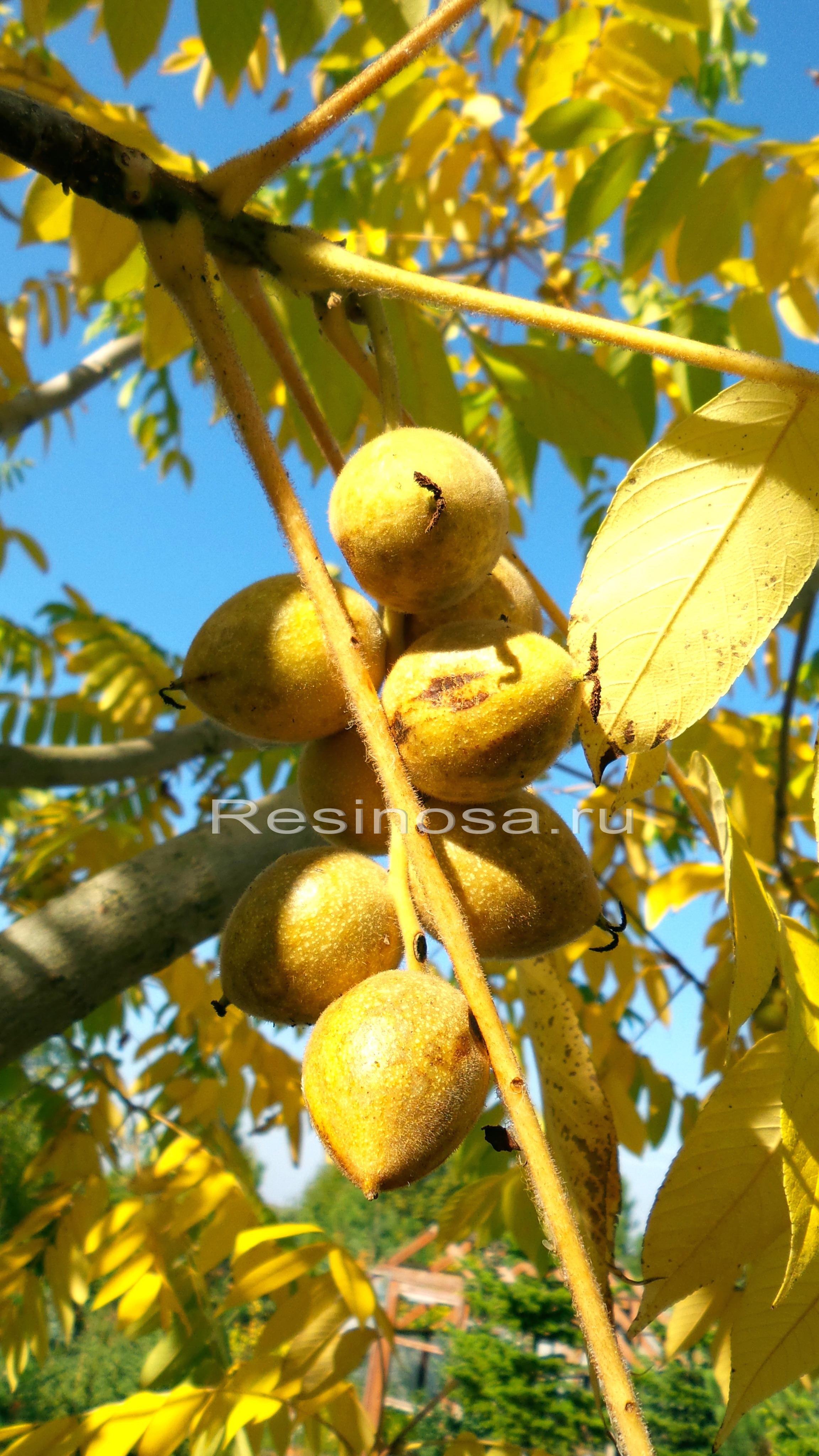Плоды ореха айлантолистного.