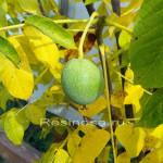 Плод ореха грецкого.