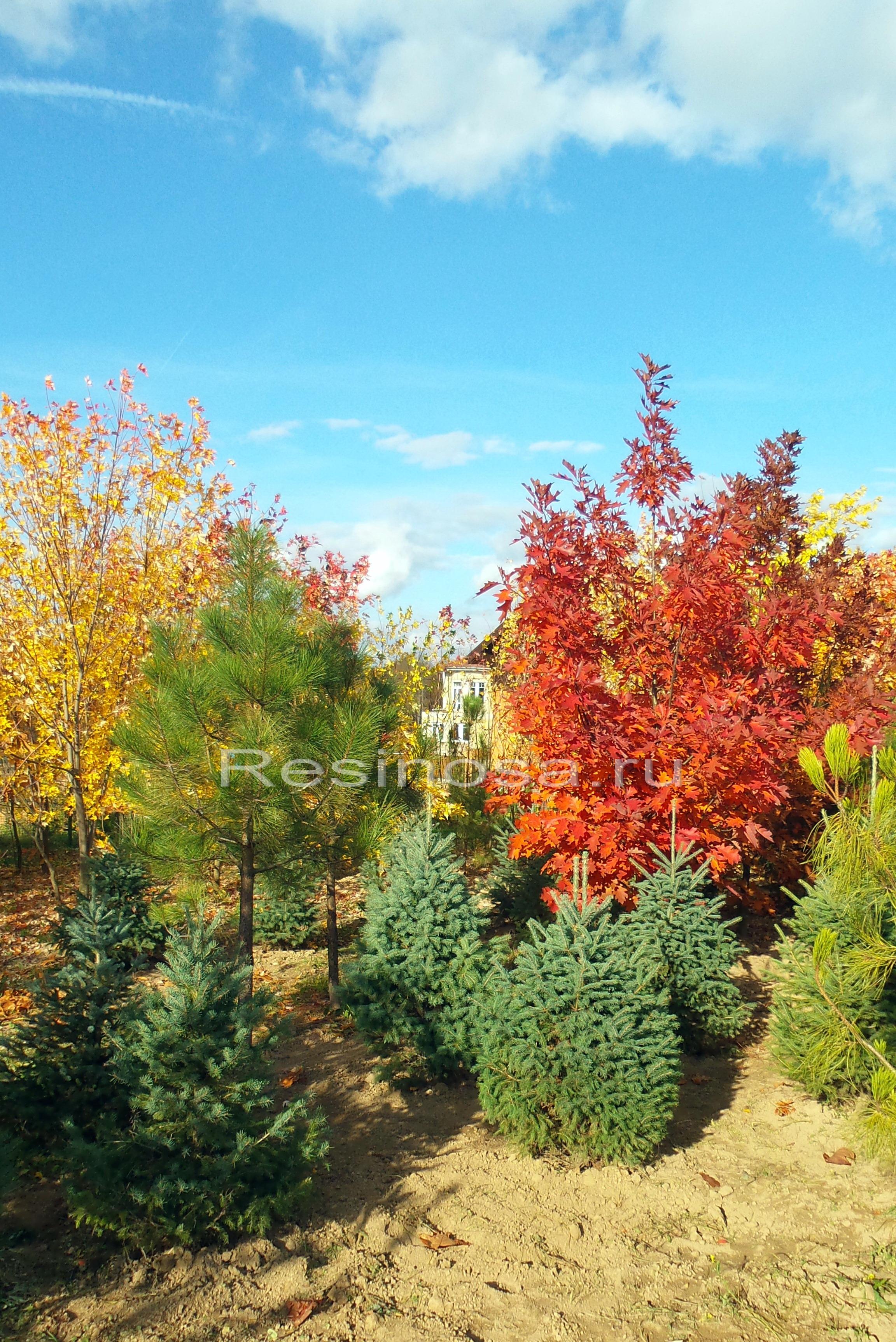 Сосна желтая, дуб красный и ель Энгельмана, сосна горная.