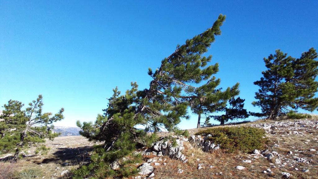 Ветры, скорость которых иногда достигает 80 м в секунду образуют такие причудливые формы кроны.