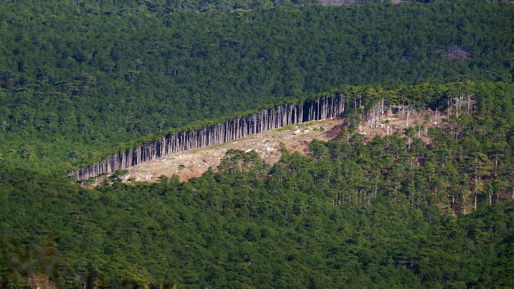 Вырубка на лесной гари. Ялтинское лесничество.