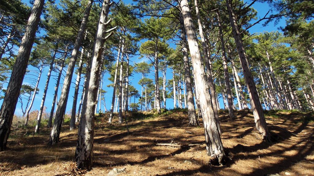 Горный лес из крымской сосны и воздух необыкновенной чистоты!