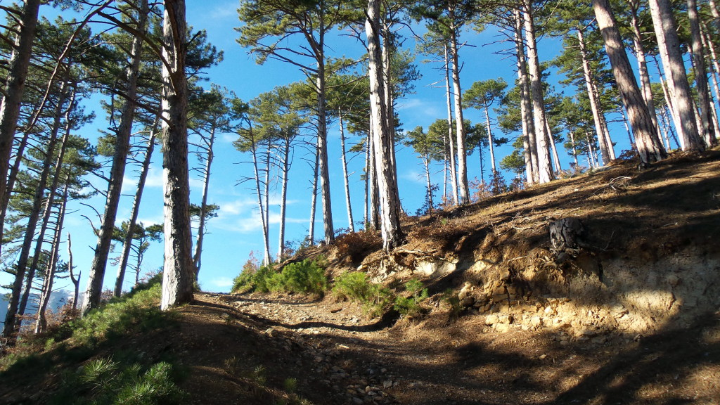 Горный лес из крымской сосны.