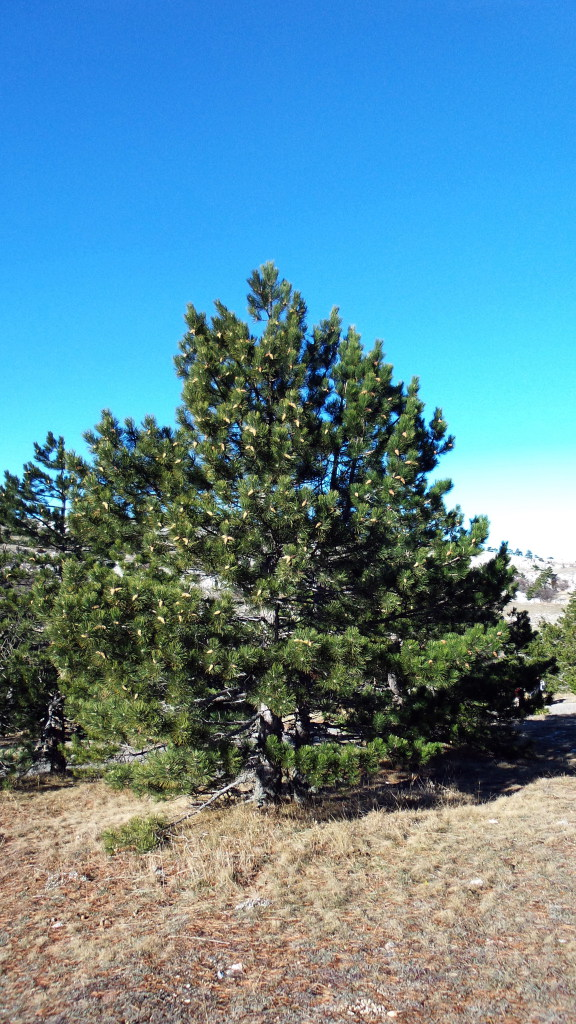 Crimean pine at an altitude of 1200 m
