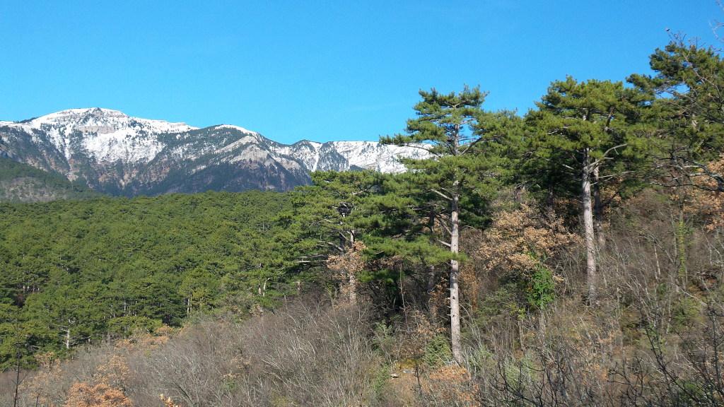 Крымская сосна. Высота 300 м над уровнем моря. Ялтинский горно-лесной природный заповедник.