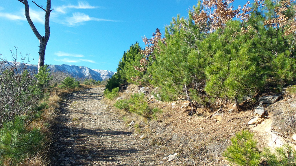 Сосна Палласа на горном склоне.