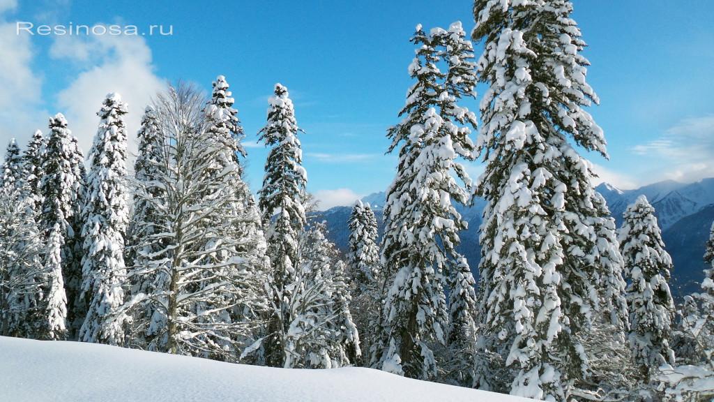 Пихта Нордмана в горах, на высоте 1700 м.